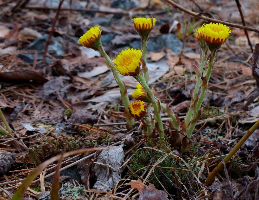 Zdraví: Vyrazte na sběr jarních bylin do přírody